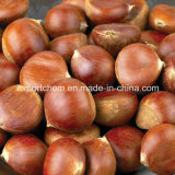 chinese organic fresh chestnuts raw chestnut
